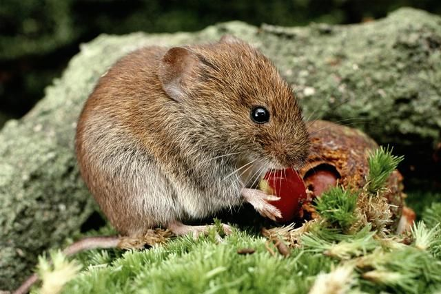 How to keep voles out of your yard garden pest disease control garden pests garden garden for How to keep mice out of garden