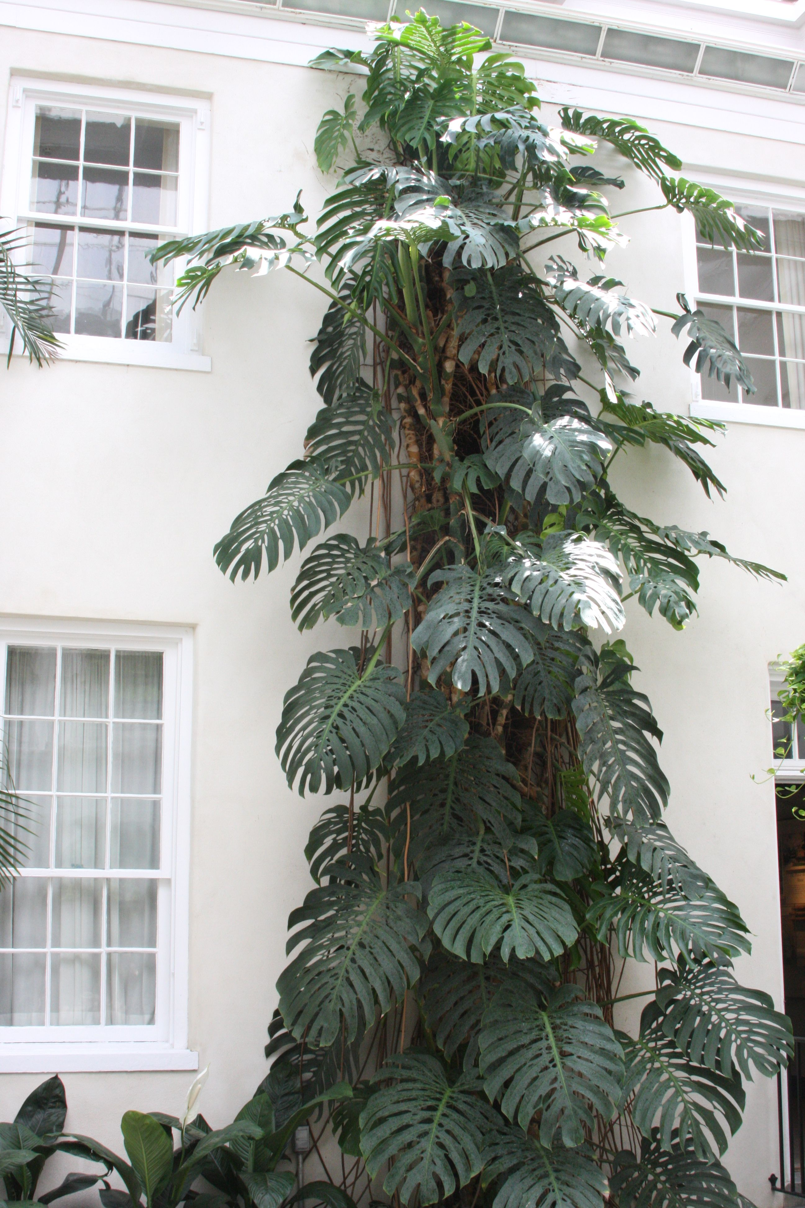 monstera deliciosa swiss cheese plant longwood gardens se pennsylvania flowers and plants. Black Bedroom Furniture Sets. Home Design Ideas