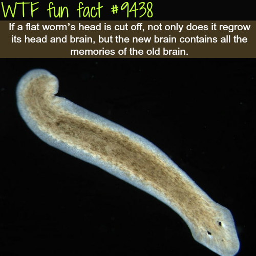 Flat worm's - WTF fun fact (WTF Facts : funny & weird facts)