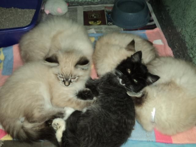 Adopt New Exotics On Petfinder Kitten Adoption Cats And Kittens Wags And Whiskers