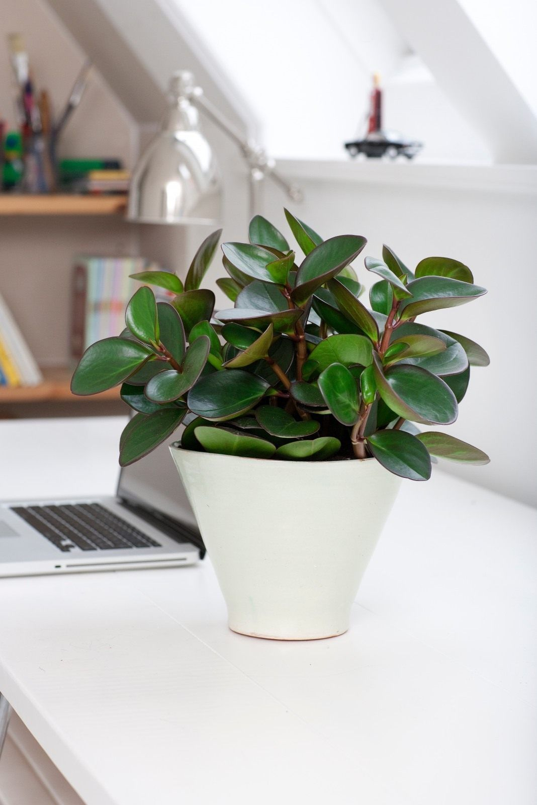 Baby Or American Rubber Plant Peperomia Obtusifolia Can
