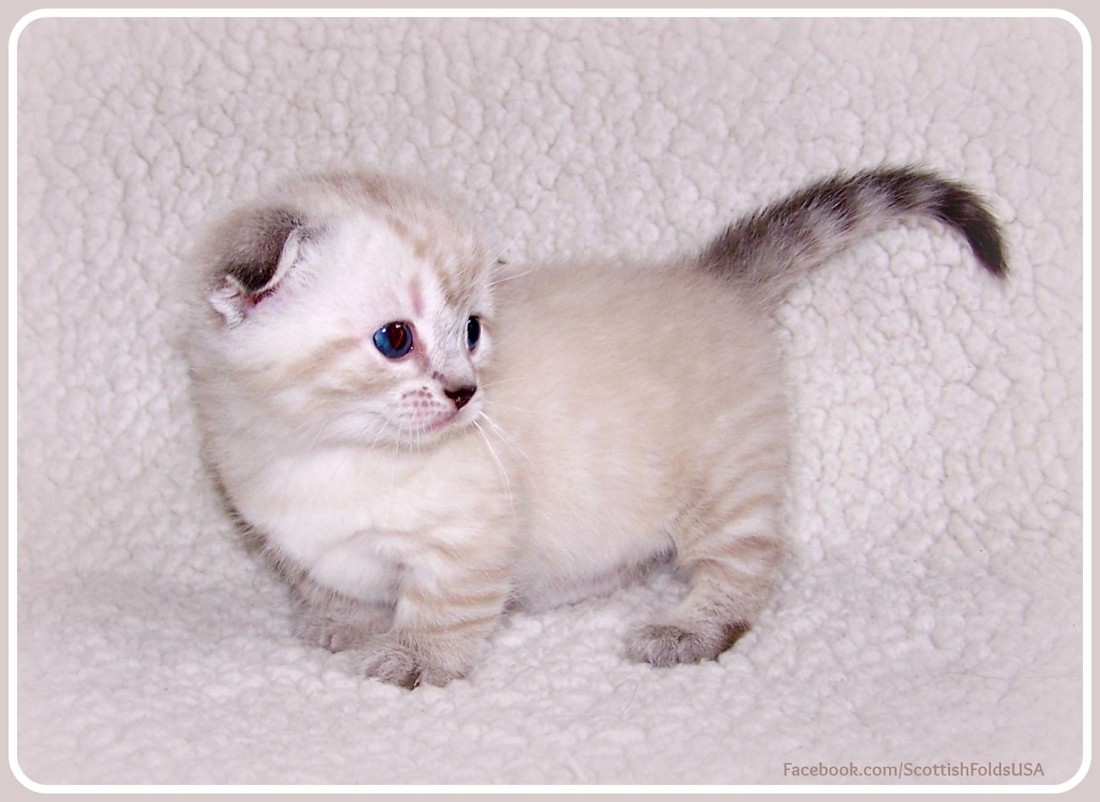 Sottish Fold Munchkin Cat Scottish Kilt Cat Lovingfolds Melt My Heart 4 Week Old Rare Standar Munchkin Cat Scottish Fold Kittens Munchkin Cat Scottish Fold