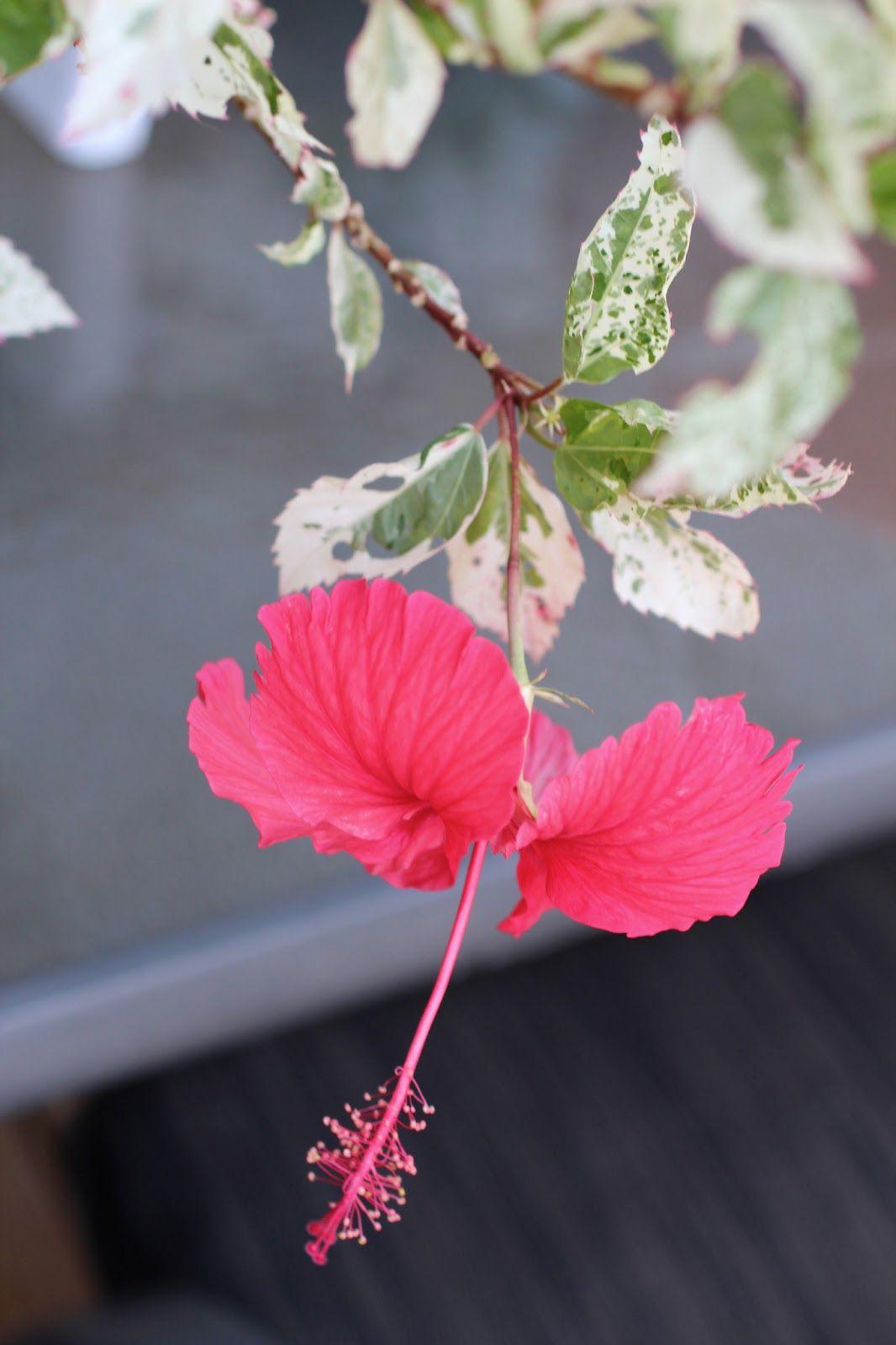 Hibiscus Rosa Sinensis Cooperii Snowflake Hibiscus Variegated