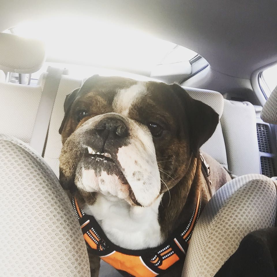 "Chicago English Bulldog Rescue on Instagram ""Trying to"
