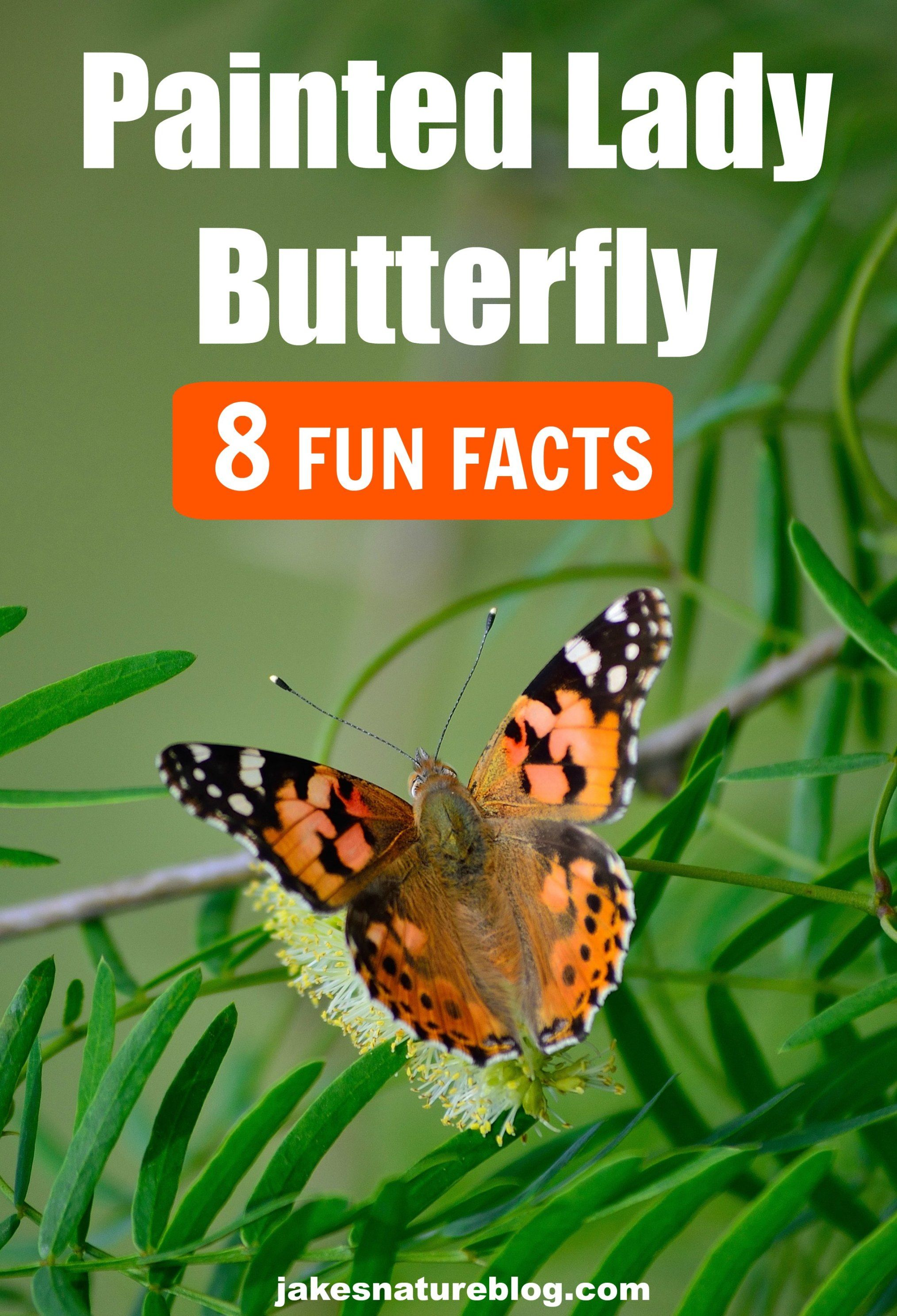 8 Painted Lady Butterfly Facts