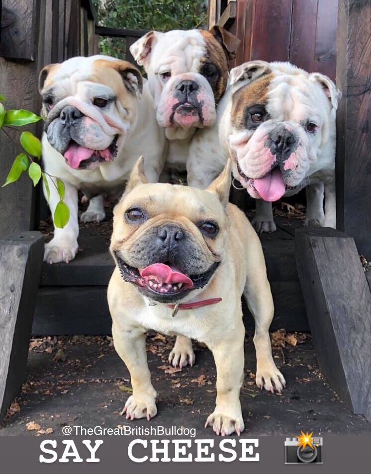 Pin By The Great British Bulldog On Bulldog Memes Cool Pets