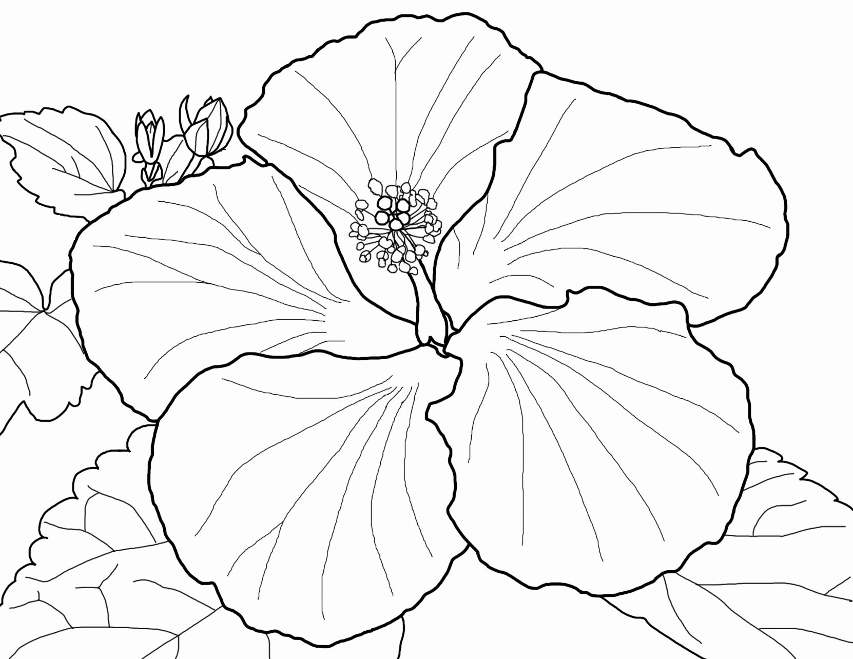 Coloring Hibiscus Flowers Lovely All Flower Coloring Pages Flower Coloring Pages Hibiscus Flower Drawing Hibiscus Drawing