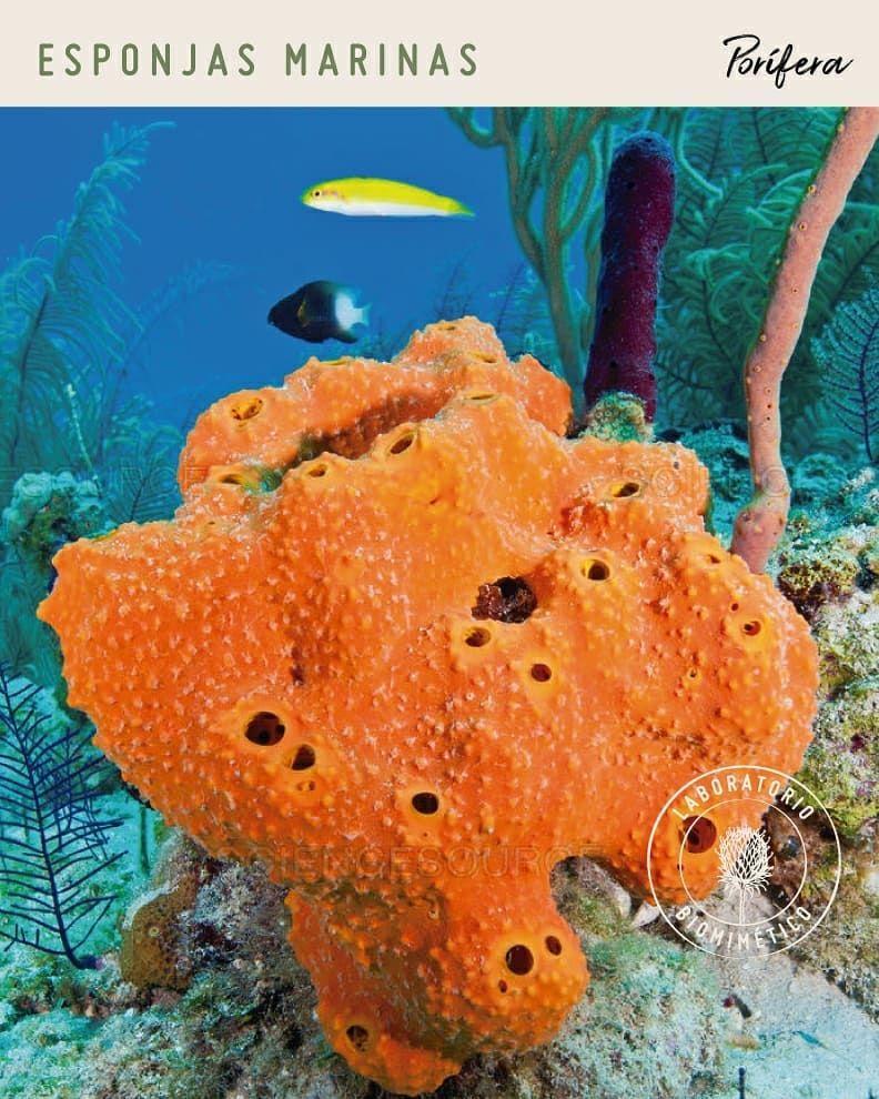 Las Esponjas O Poriferos Son Animales Invertebrados Acuaticos Y Uno De Sus Superpoderes Es La Capacidad De Filtracion Del Agua Cargada D Fish Pet Pets Animals