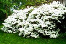 Delaware Valley White Azalea White Azalea Azaleas Landscaping White Gardens