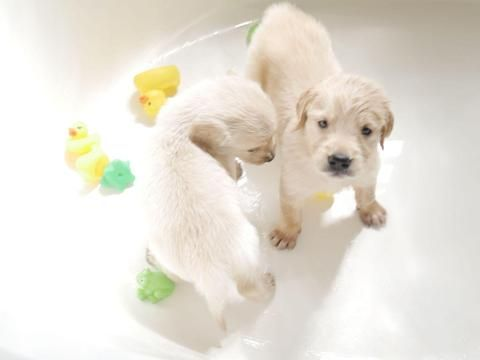 Litter Of 9 Golden Retriever Puppies For Sale In Buckeye Az Adn