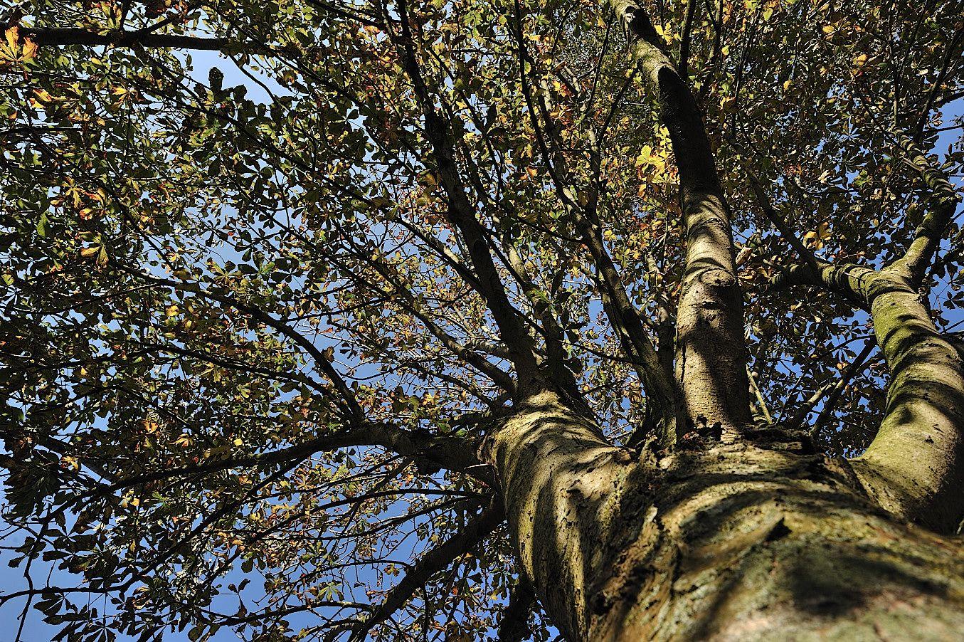 Marronnier commun, Les arbres - MonSitePhotos - MonSitePhotos