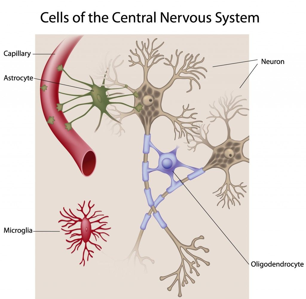 cells of the central nervous system central nervous system brain anatomy anatomy and physiology [ 1024 x 1000 Pixel ]