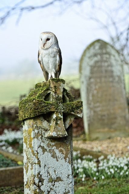 Barn Owl on Gravestone naturalengland