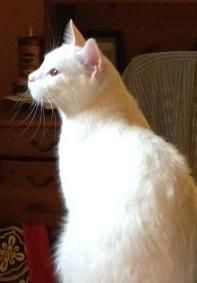Jackson Loves Dogs Is An Adoptable American Shorthair Cat In Durham Ct Single Cat Home Only Jackson Is A 1 Y American Shorthair American Shorthair Cat Cats