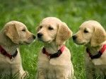 Buying A Pet How To Avoid Potential Scams And Pitfalls Golden Retriever Retriever Honden