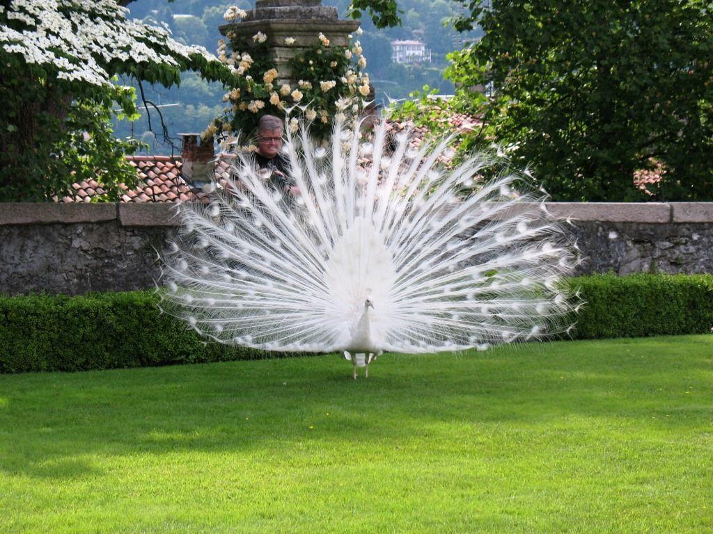 أجمل صور الطاووس الأبيض الذي ادهش العالم White Peacock Earth Pictures Peacock