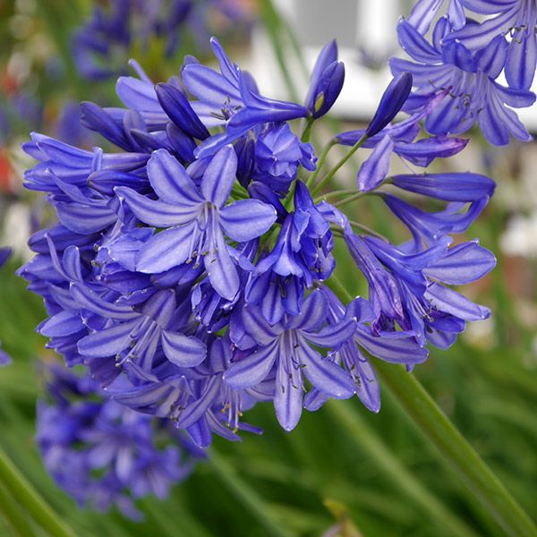 Agapanthus Northern Star Pbr African Lily Agapanthus African Lily Flower Close Up