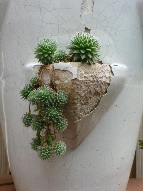Semps on crack in cool container succulent succulence in containers pinterest gardens - Cool succulent plants ...