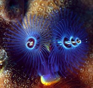 Xmastreewormtq9 Jpg Click To See More Photos Incredible Creatures Sea Creatures Underwater World