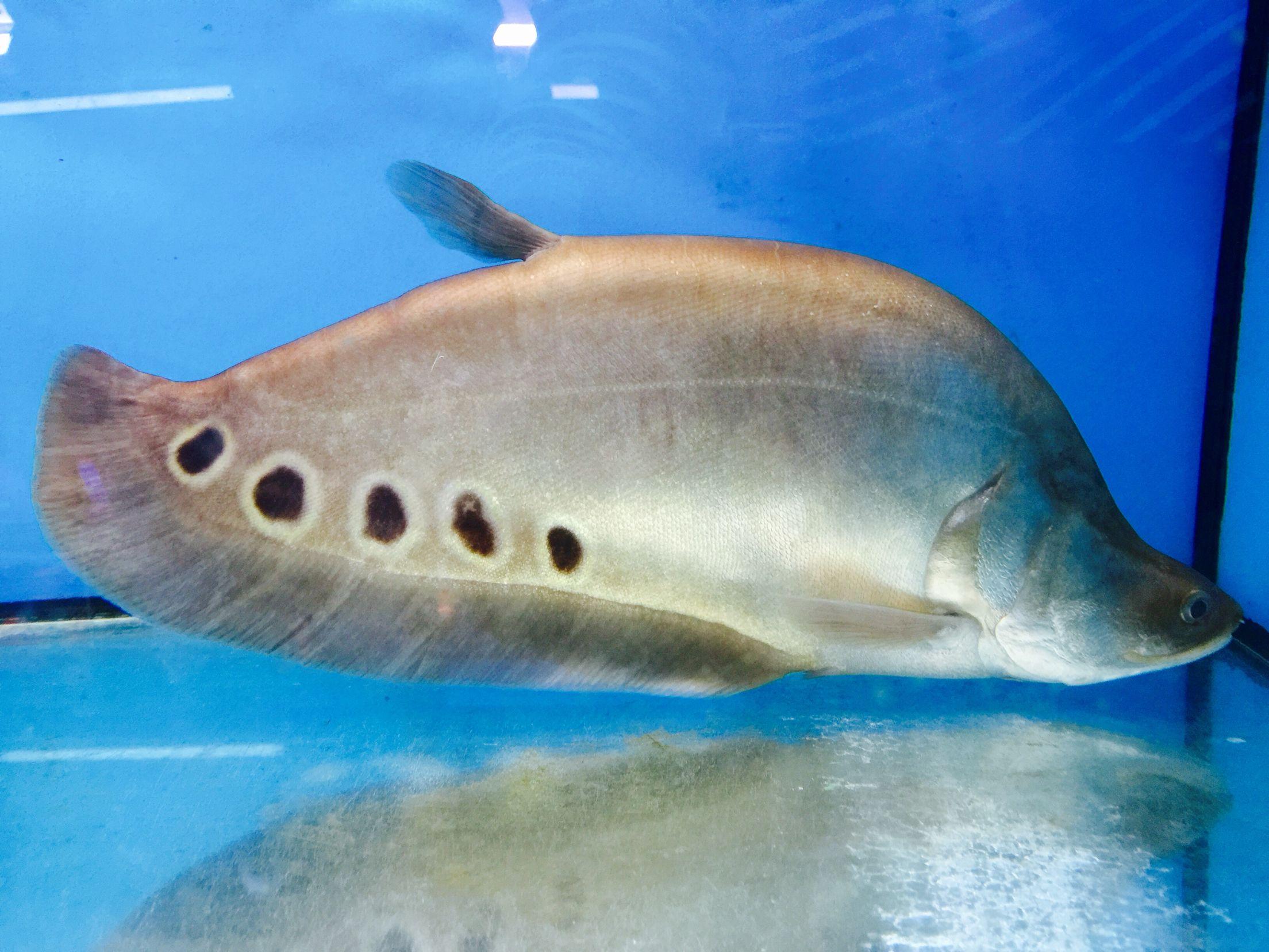 Freshwater aquarium knife fish - Fish Clown Knife Fish Freshwater Aquariumaquarium