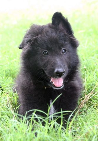 Belgian Sheepdog Puppy Pictures Herding Dog Puppy Pictures Dogs