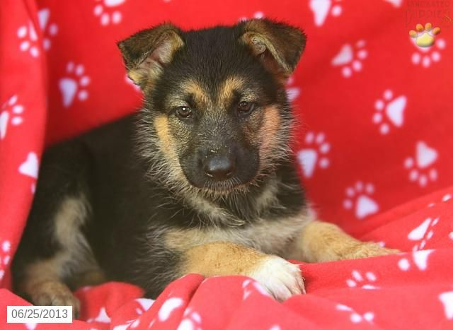 Stacey German Shepherd Puppy for Sale in Paradise, PA