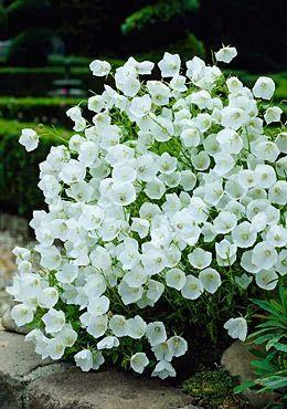 White Clips Bell Flower Plants White Gardens Flower Garden