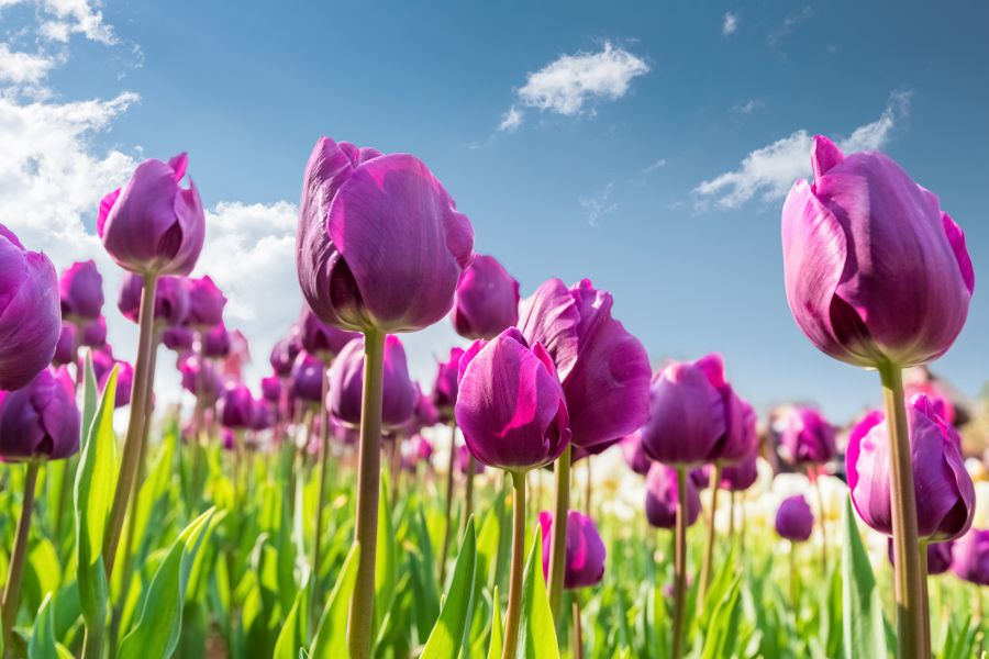 Learn All About Each Tulip Color Meaning Petal Talk Tulip Colors Purple Tulips Tulips