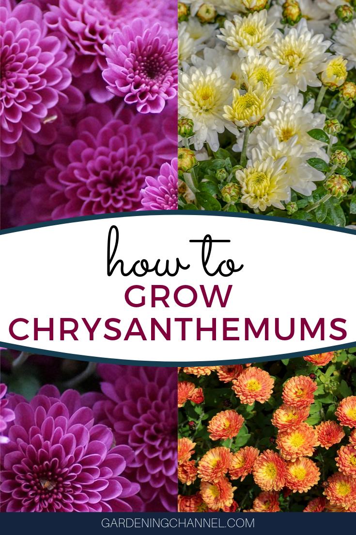 How To Grow Chrysanthemums Chrysanthemum Growing Chrysanthemum Gardening Tips