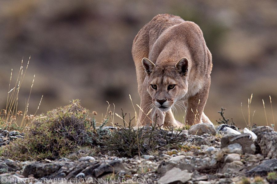 Puma, Torres del Paine National Park - Chilean Patagonia. Only 25 meters from me (lying down in the grass), a little bit scaring.