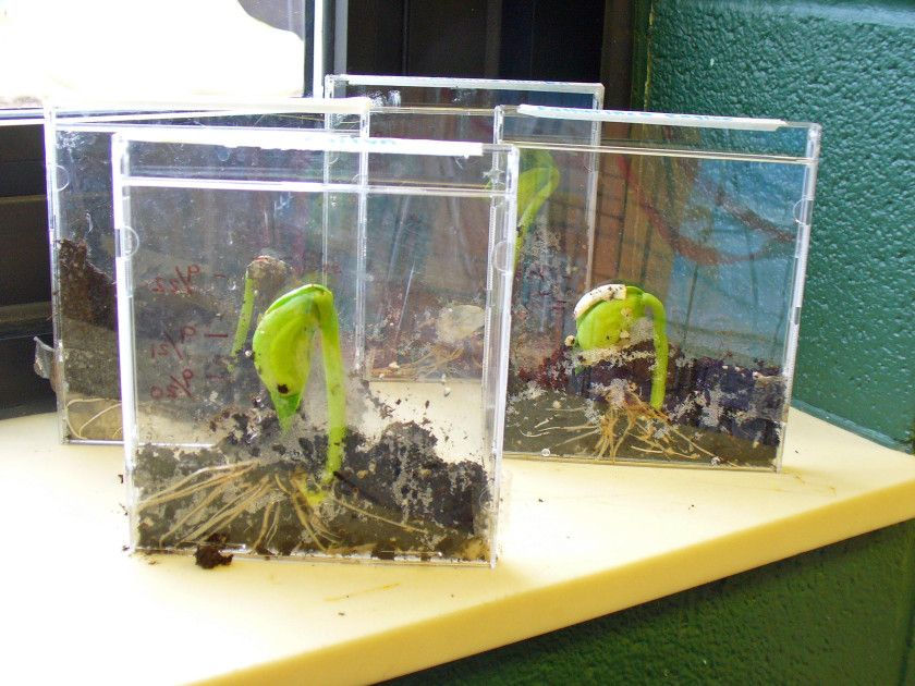 growing lima beans in a cd case to see the entire growth of the plant