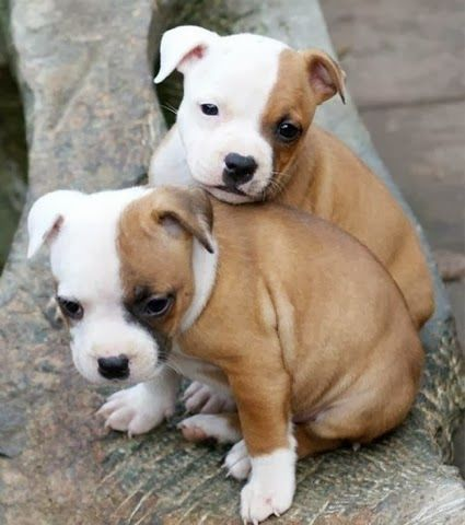 5 Most Amazing Twins You Must See Staffordshire Bull Terrier Puppies Bull Terrier Puppy Staffordshire Bull Terrier