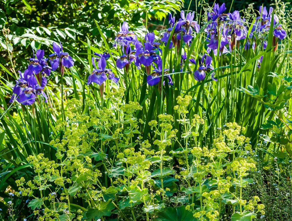 Lady S Mantle And Siberian Iris Plant Combinations Summer Flowers Blue Garden