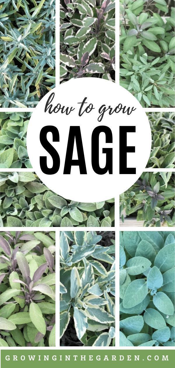 How to Grow Sage - Tips for Growing Sage | Growing In The Garden