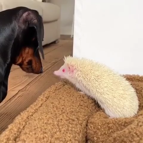 Sausage dog and hedgehog #cutepuppies