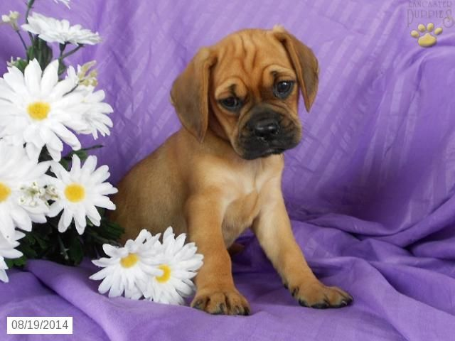 cheap pug puppies for sale the 25 best puggle puppies for sale ideas on pinterest 7021
