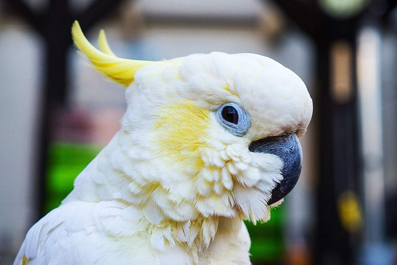 We understand how many live wavy parrots in the home