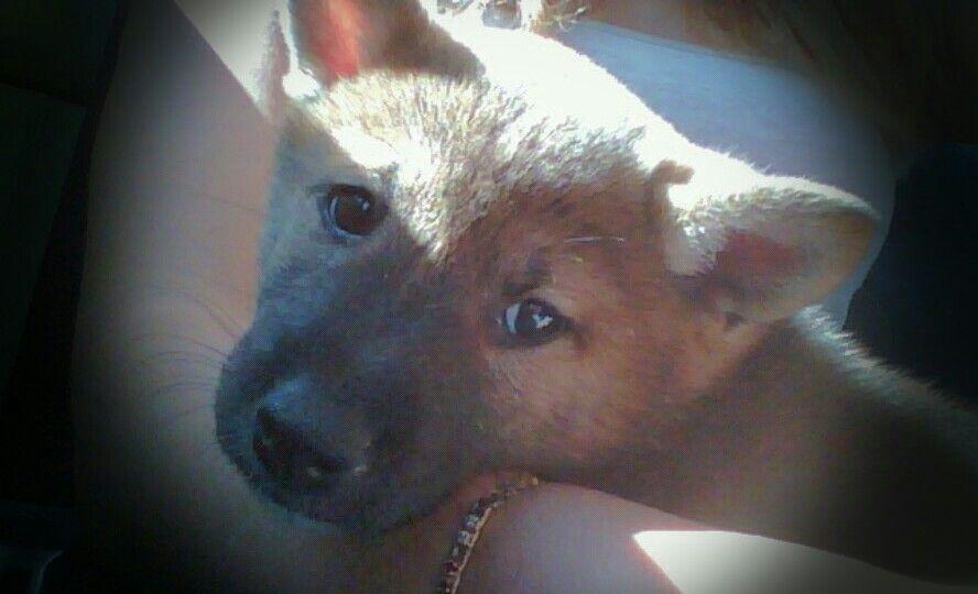 Shiba inu 8 weeks old