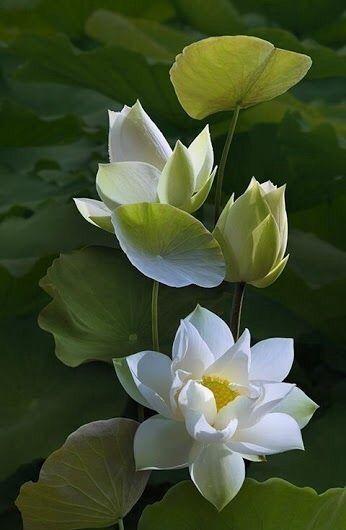 Pin Oleh Nieves Gil Di Lotus Teratai Air Bunga Teratai Bunga