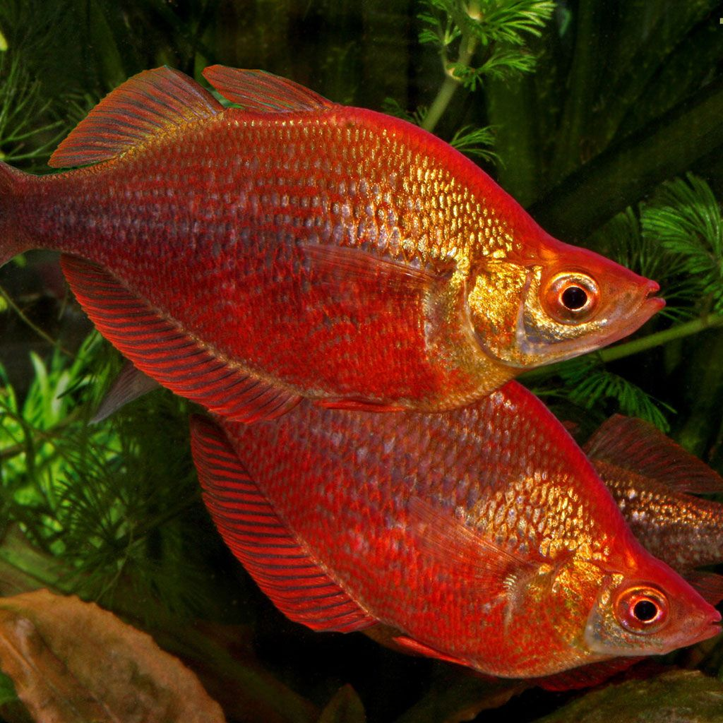 New Guinea Rainbow (Males Only) | Pinterest | Discus, Aquariums and ...