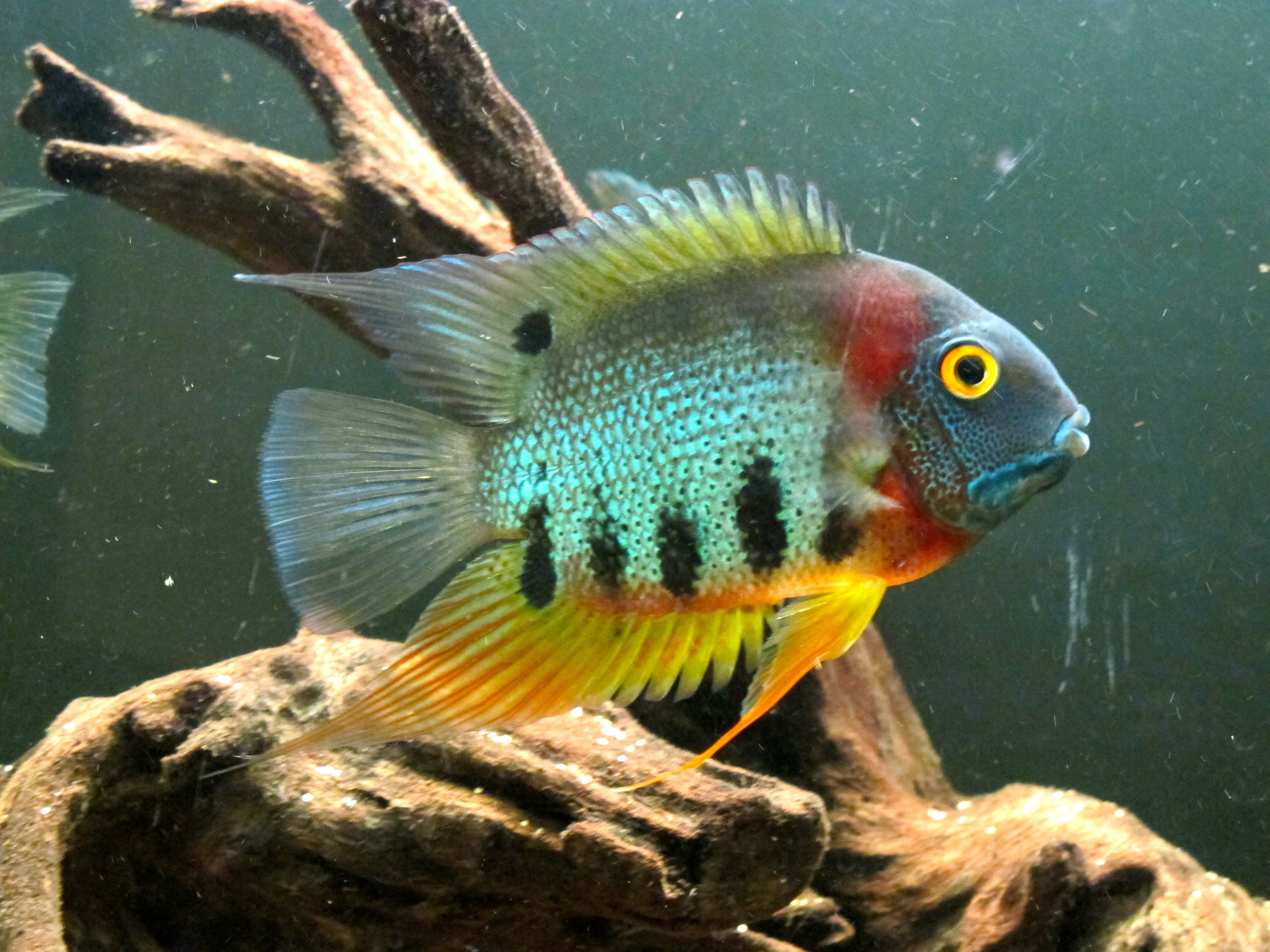 Freshwater aquarium fish exporters - Tropical Discus Fish