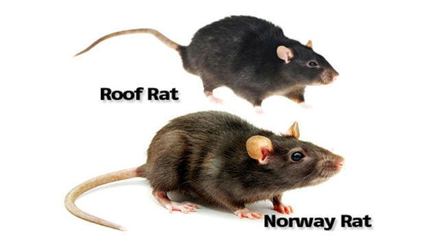 Image Result For Live Rat Norway Rat Animals Rats