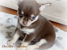 Chihuahua Dogs And Puppies For Sale In The Uk Pets4homes With