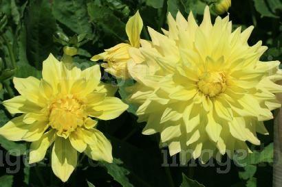 Pale yellow flowers dahlia mark hardwick double pale yellow flower pale yellow flowers dahlia mark hardwick double pale yellow flower in summer mightylinksfo