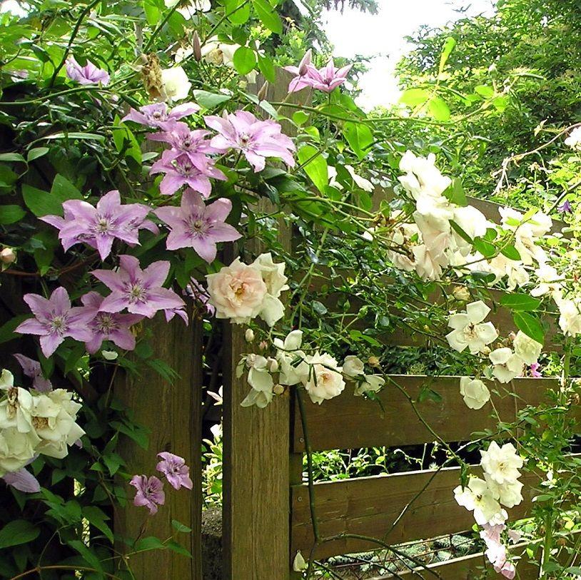 Mein Garten Clematis u0027Hagley Hybrideu0027 und Rose u0027New Dawn - mein garten rtl