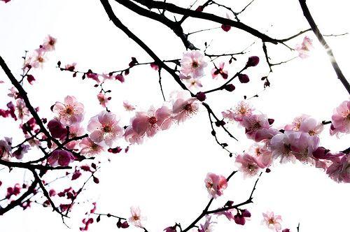 Cerisier en fleurs dessin pinterest cerisier en fleur cerisier et en fleur - Fleur de cerisier tatouage ...