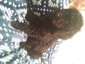Schnoodle Giant Puppy For Sale In Azle Tx Adn 36130 On