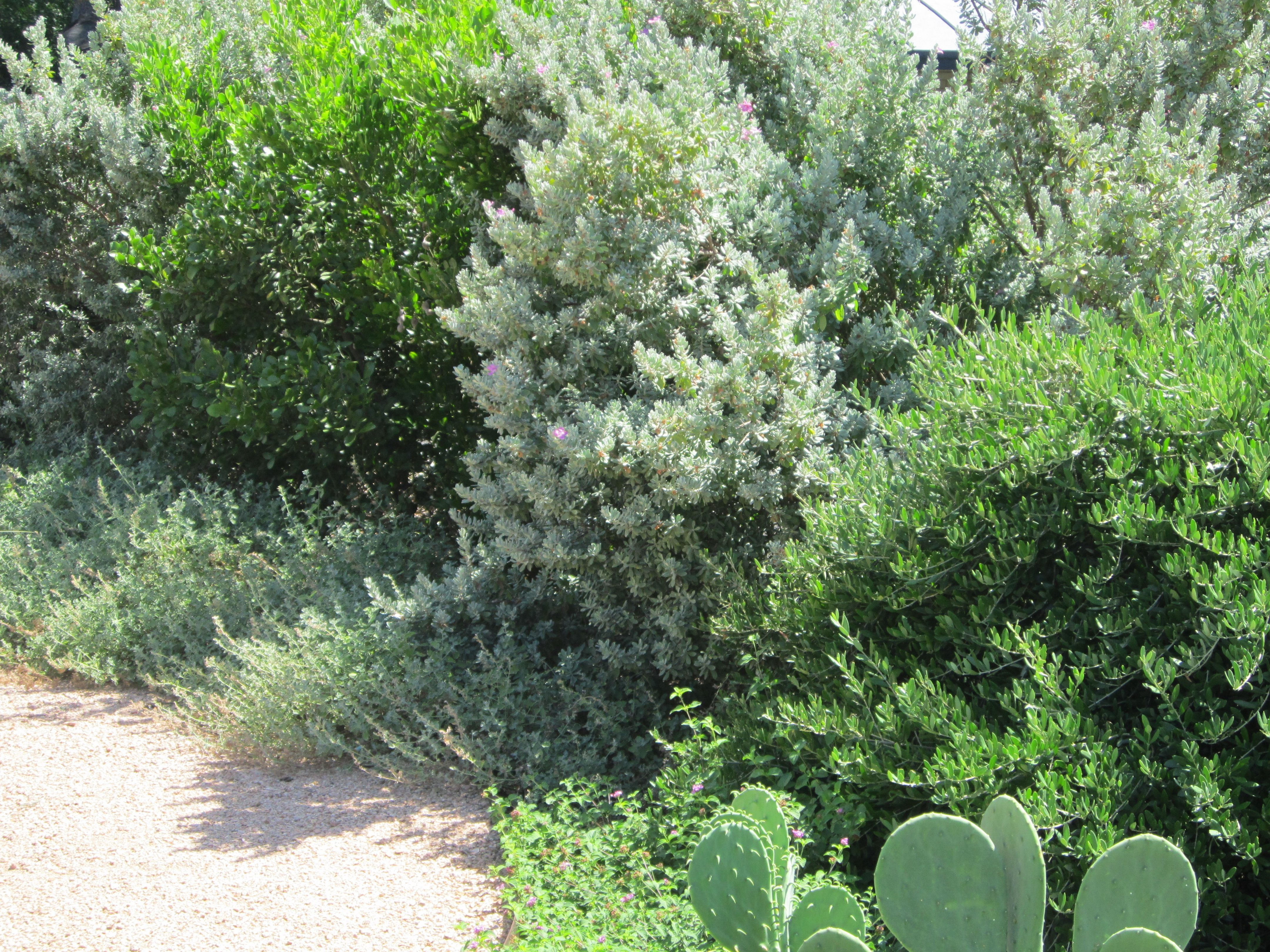 Mixed screen of native Cenizo, Texas Mountain Laurel, and 'Little Ollie' Olive Bush.
