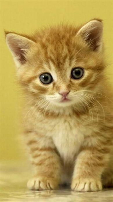 Tiny Cute Kitten Too Adorable To Resist Cute Animal Kittens Animaux Minou Chat