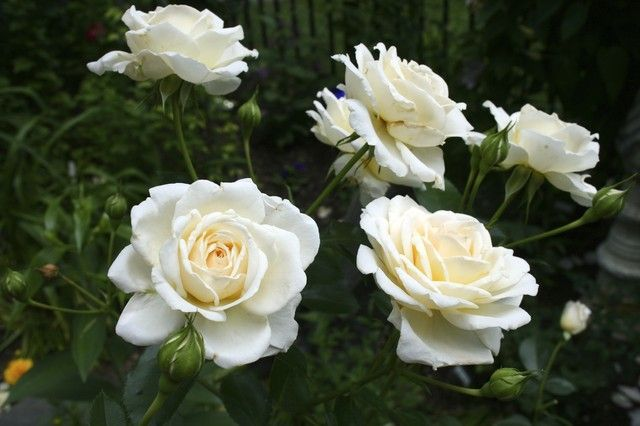 Guinevere Rose Care Beautiful Roses White Roses